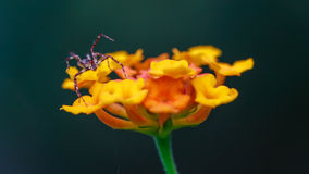 Macro photography of a tiny spider on a little flower Stock Photos