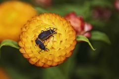 Macro Photography of Two Black Beetles on Orange Flower royalty free stock photo
