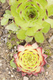 Macro photography of the two Sempervivum tectorum. Royalty Free Stock Image