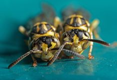 Macro Photo of Two Wasps on Blue Green Metal Material stock image