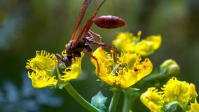 Macro photography of a very large paper wasp stock photography