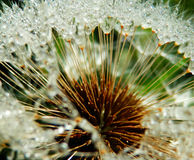 Macro photography of wet dandelion seeds Royalty Free Stock Images