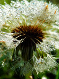 Macro photography of wet dandelion seeds Stock Photo