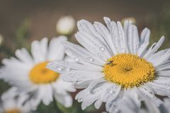 Macro Photography Of White Daisy Flowers stock images