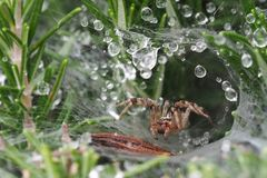 Macro photography  wolf spider in web with morning dew drops royalty free stock photos