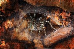 Macro photography  wolf spider in web royalty free stock photos