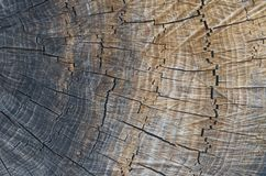 A slice of wood as the natural background. Macro photography of wood texture. A slice of wood as the natural background; Smooth color transition from gray to stock image