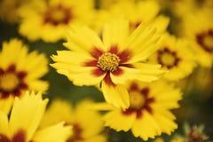 Macro Photography of Yellow Flowers Royalty Free Stock Photo