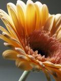 Macro Photography of Yellow Gerbera Flower royalty free stock image