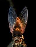 Macro photography—cicada Royalty Free Stock Photos