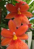 Macro photos of beautiful flowers Orchidáceae largest family of monocotyledonous plants with petals colored orange shades Royalty Free Stock Images