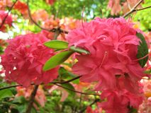 Macro photos of beautiful flowers with petals of pink hue on the branch of a shrub of the Rhododendron Stock Photo