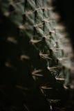 Macro pianta del nopal Immagini Stock