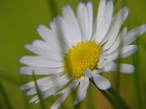 Macro pianta della margherita di Microcosmos Fotografia Stock