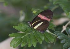 Macro piccola farfalla del postino Fotografia Stock