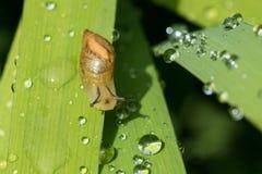 Macro piccola lumaca che cammina sulla pianta Immagini Stock