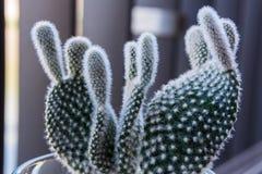 Macro piccolo Fuzzy Cactus Decoration immagine stock libera da diritti