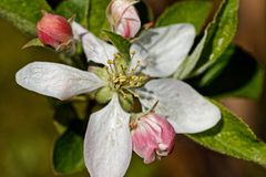 Apple flower in spring. Macro picture of an apple flower during springtime stock photos
