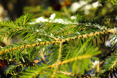 Macro picture branch of pine needles Royalty Free Stock Photography