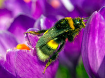Macro picture of bumblebee Stock Image