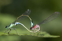 Macro picture of 2 colored insects Stock Image