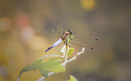 Macro picture of dragonfly on the leave Royalty Free Stock Image