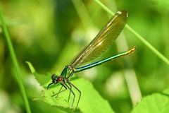 Macro picture of dragonfly on the leave. Royalty Free Stock Photos
