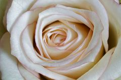 Macro of a white rose flower stock photography