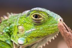 Macro picture of a green iguana. With clear eyes looking at you royalty free stock images