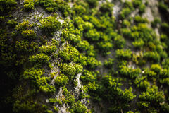 Macro picture of green moss. Close up macro photography of nature. Color bright background with amazing bokeh. moss lichen backgro Stock Photo