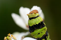 Macro picture of the head of a caterpillar Royalty Free Stock Photos