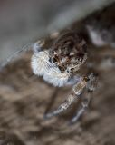 Macro picture of a jumping spider Royalty Free Stock Photos