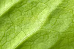 Macro picture of a leaf Royalty Free Stock Image