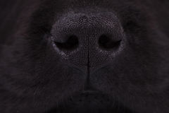 Nose of a black labrador retriever puppy dog Stock Photos