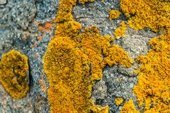 Orange lichen on a rock. Macro picture of an orange leafy lichen on a rock stock photo