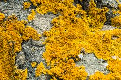 Orange lichen on a rock. Macro picture of an orange leafy lichen on a rock royalty free stock images