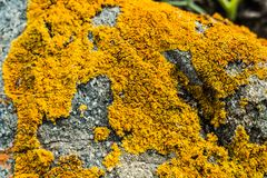 Orange lichen on a rock. Macro picture of an orange leafy lichen on a rock royalty free stock image