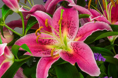 Macro picture of romantic pink lily. With water drops Royalty Free Stock Images
