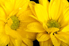 Macro picture of two yellow flowers Royalty Free Stock Image