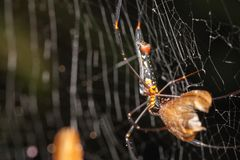 Macro Picture of a wasp spider. In its net Royalty Free Stock Photo