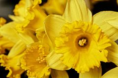 Macro picture of a yellow daffodil. Yellow flowering daffodil flower in spring stock image
