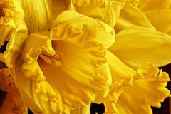 Macro picture of a yellow daffodil royalty free stock photos
