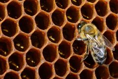 Macro pictures of bee in a beehive on honeycomb with copyspace. Bees turns nectar into fresh and healthy honey. Concept Stock Photography