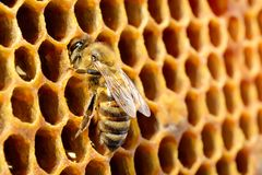 Macro pictures of bee in a beehive on honeycomb with copyspace. Bees turns nectar into fresh and healthy honey. Concept