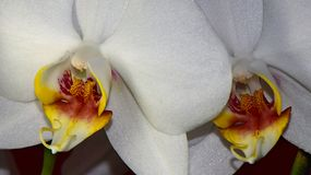 Macro pictures from the flowers of an orchid Stock Photography