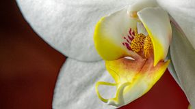 Macro pictures from the flowers of an orchid from our windowsill Stock Images