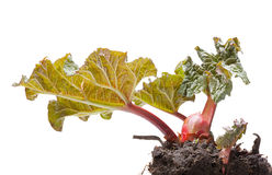 First leaves of rhubarb Stock Photography