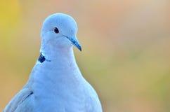 Macro pigeon Stock Image