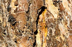 Macro pine bark texture for background Royalty Free Stock Photos