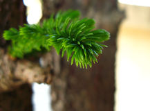 Macro of pine branch. Macro of needles on green pine branch Royalty Free Stock Images